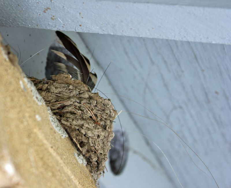 Swallow_nest