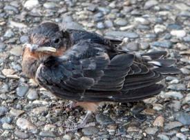 Babyswallow