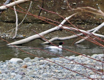Male_common_merganser
