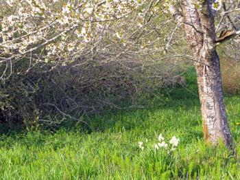 Appletree_daffodils